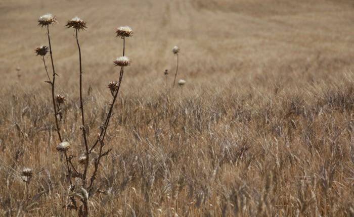 Champ de blé dans la Drôme provençale